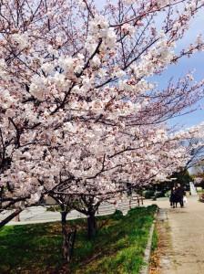 桜3/31